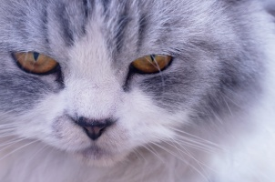 closeup-face-persian-cat