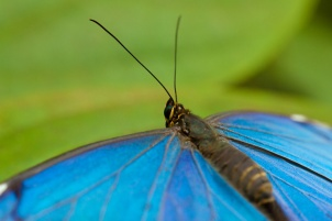 morpho-butterfly-1452254338hOT